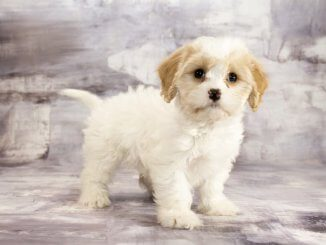 Cavapoo Breeders Care Guide Appearance And Temperament