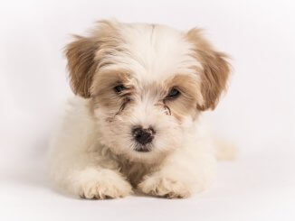 Cavachon Dog Breed Information and Owner's Guide Cover