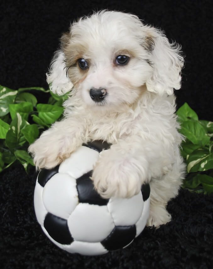 Cavachon Dog Playing Football