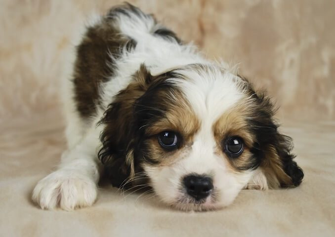 Cavalier King Charles Spaniel and Bichon Frise Mix
