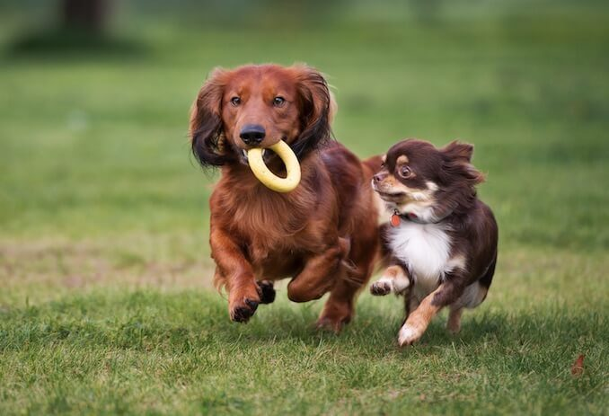 Chihuahua and Dachshund Dogs Running