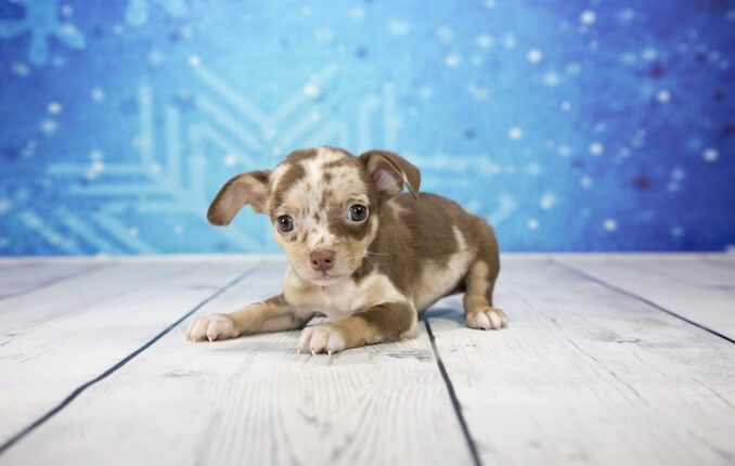 Chiweenie The Ultimate Chihuahua Dachshund Mix Owners Guide All