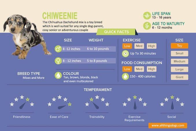 Chiweenie Infographic