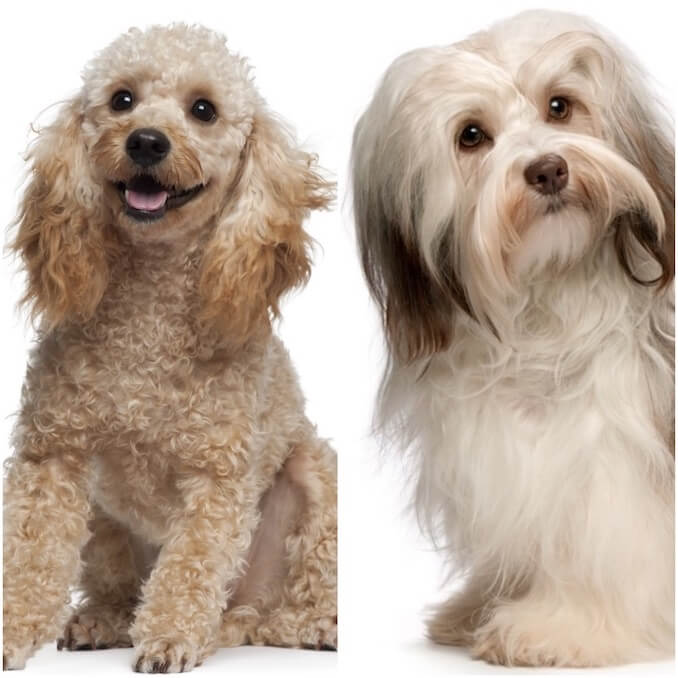 Havanese and Poodle Purebred Dogs