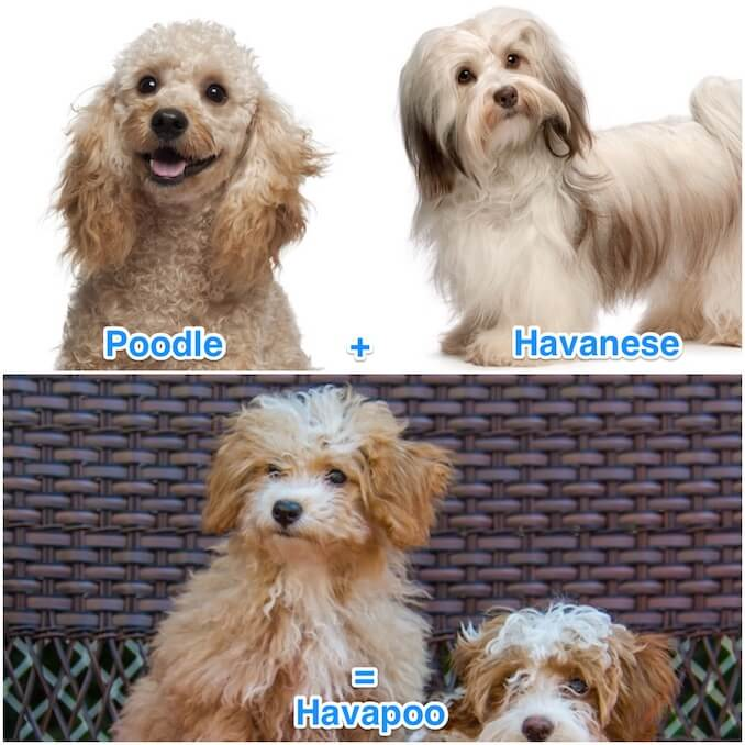 What is a Havapoo? – The Havanese Miniature Poodle Mix – All