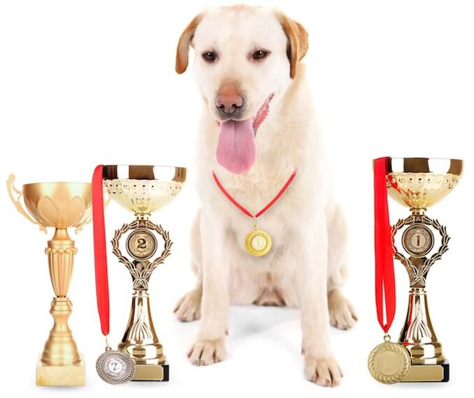 Labrador with Medals
