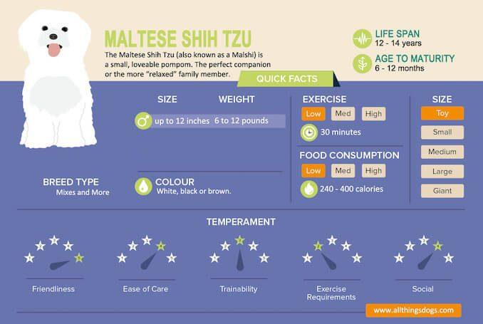 Maltese Shih Tzu Infographic