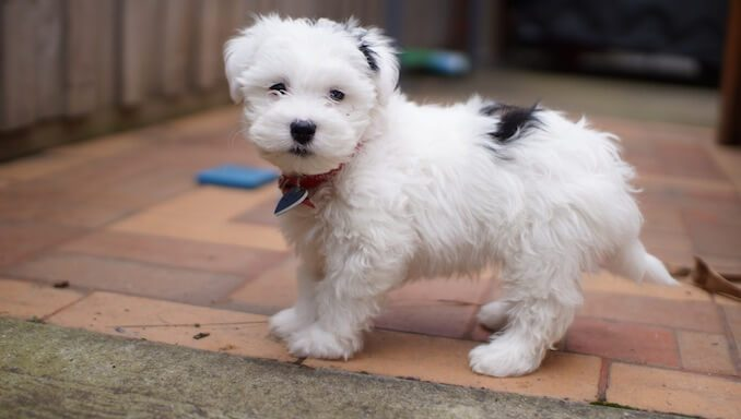 Maltese Shih Tzu Mix Breed Information – All Things Dogs