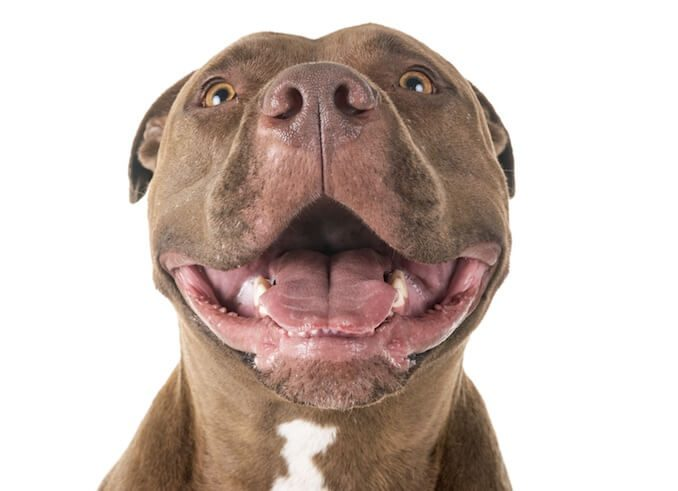 Red Nose Pitbull Smile