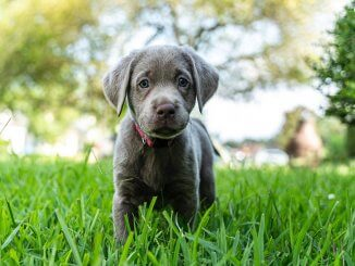Silver Lab Dog Breed Information and Owner's Guide Cover