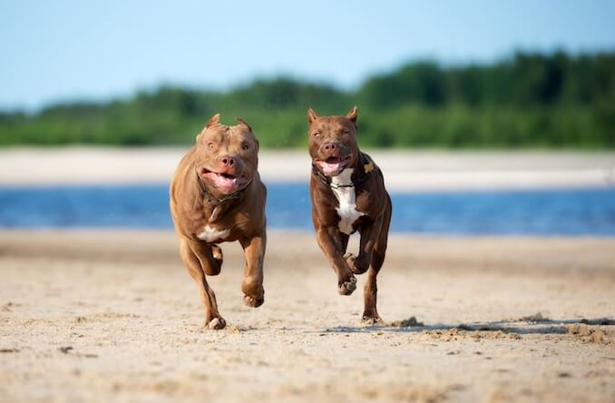 Two Red Nose Pits