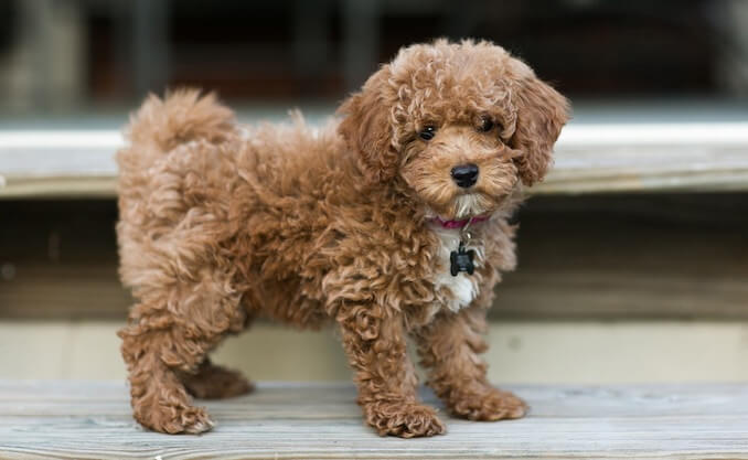 Bichon Poodle: Why You Should Own This Curly-Haired Teddy