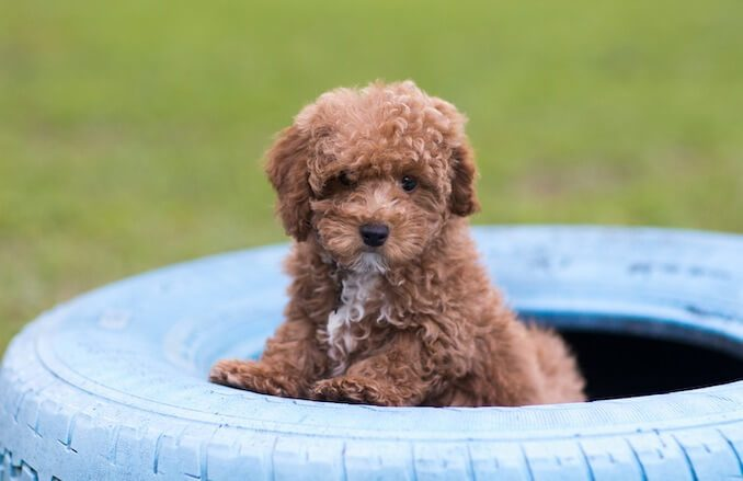 Bichon Poodle FAQs