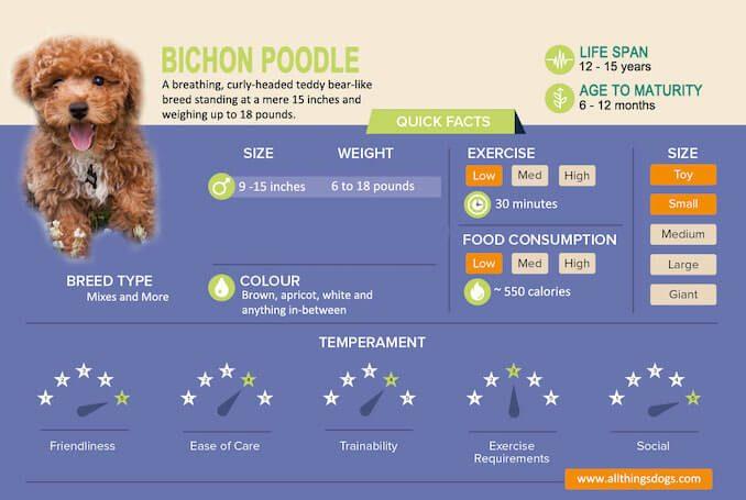 Bichon Poodle Infographic