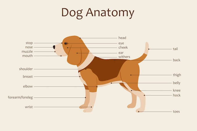 Anatomy of a Dog