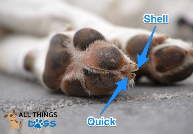 Dog Nail Anatomy