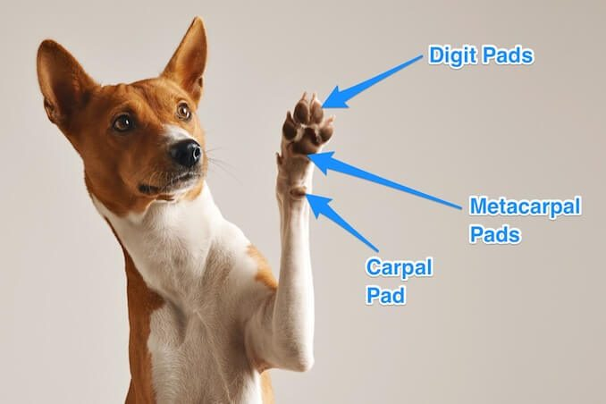 Forelimb Anatomy of a Dog