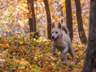 German Shepherd Husky Mix Running