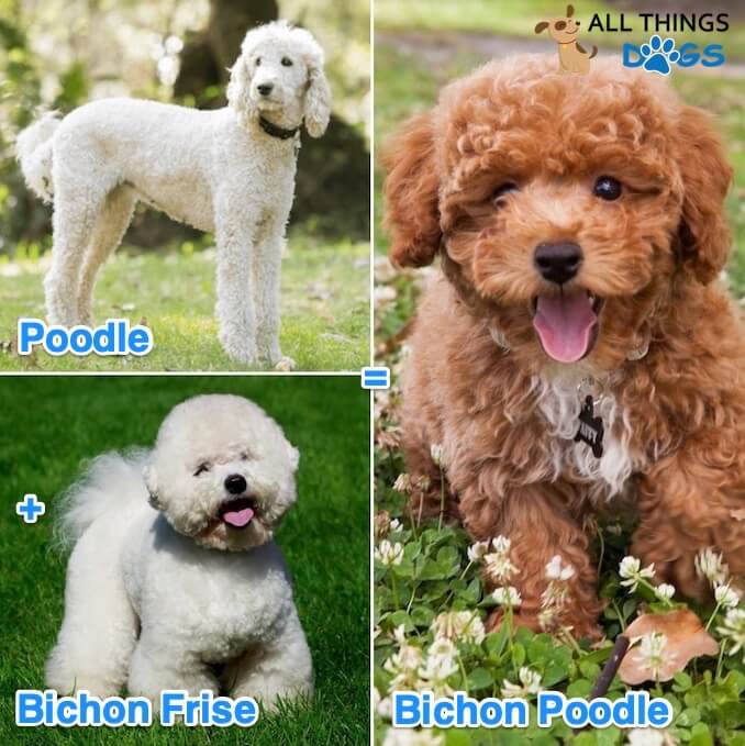 Origin of the Bichon Poodle
