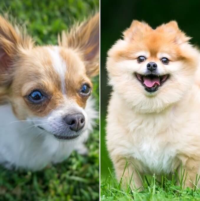 Pomchi An Owners Guide To The Chihuahua Pomeranian Mix All