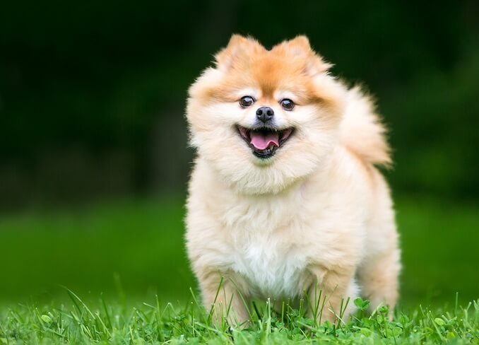 A Pomeranian Running in a Field