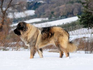 Russian Bear Dog
