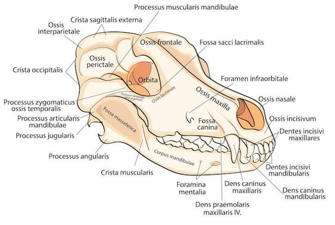 Skull of a Dog a visual guide to dog anatomy (muscle, organ & skeletal drawings
