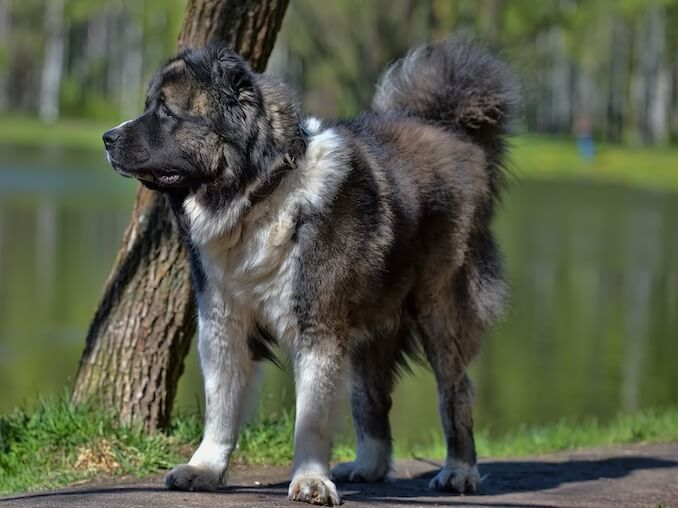 Training a Russian Bear Dog