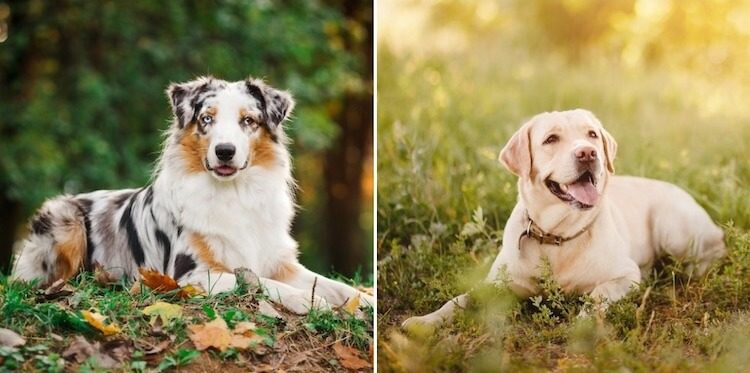 The parents of a Australian Shepherd Labrador Mix