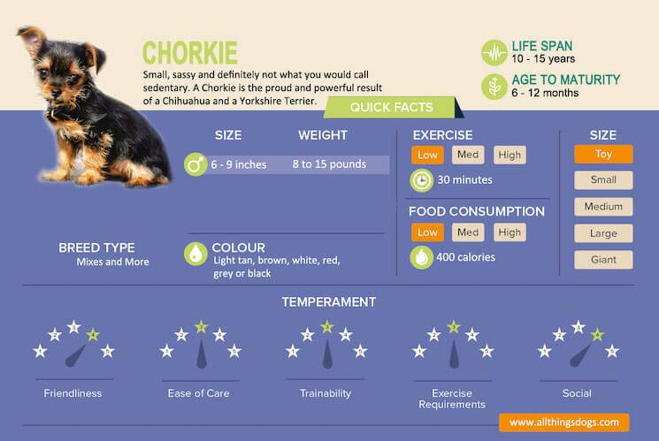 chorkie adults pictures