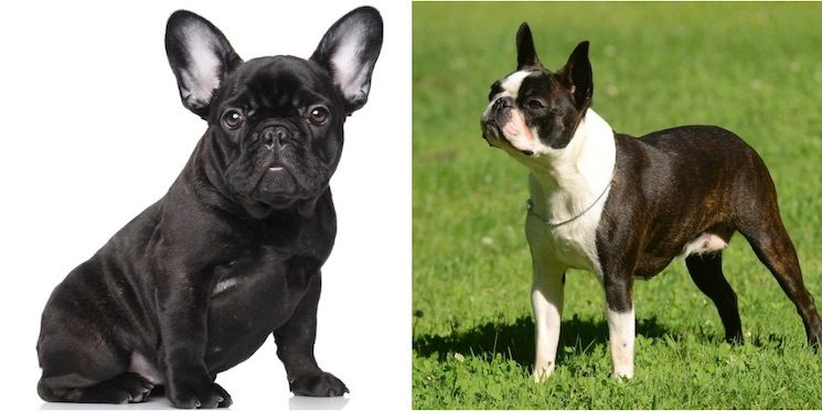 French Bulldog & Boston Terrier Mix