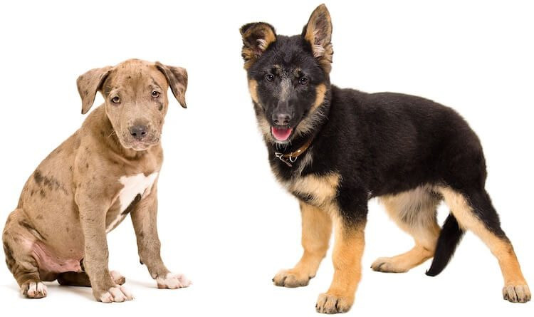german shepherd and pitbull german shepherd pitbull mix a complete owner s guide 1366