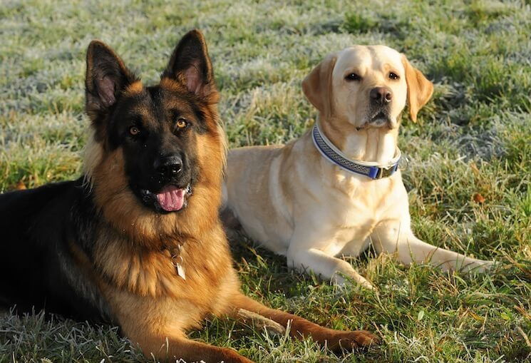 German Shepherd and Labrador