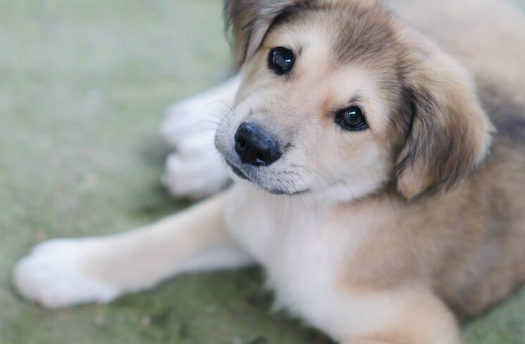 Golden Retriever Husky Mix 9 Incredible Goberian Pictures All