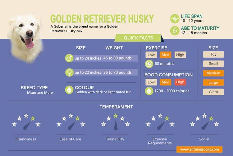 Golden Retriever Husky Mix Infographic