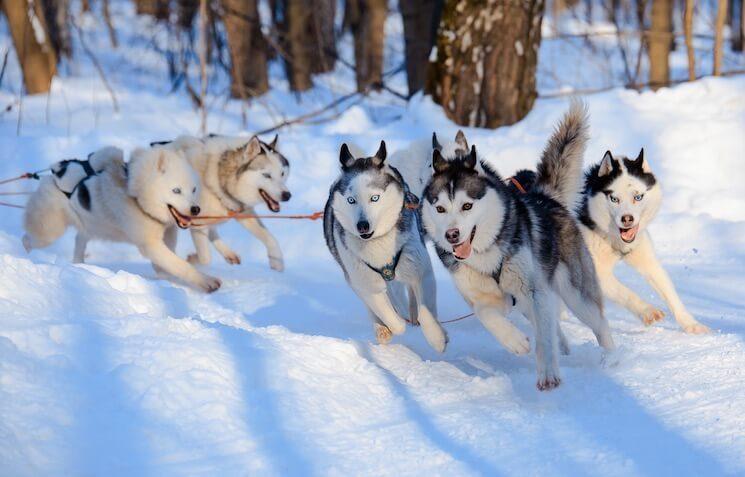 Husky Dogs Pulling A Sledge