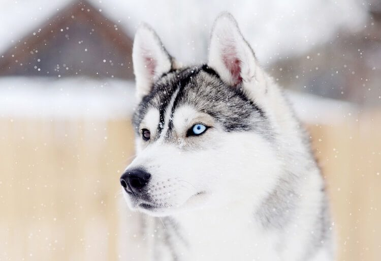 121 Husky Names – Choose The Perfect Name For Your Husky – All
