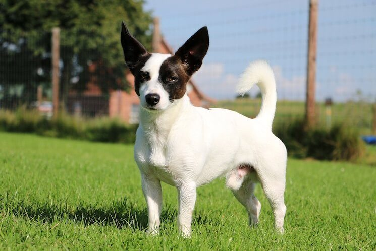 Jack Russell Chihuahua Mix Owner S Guide Fun Fast And