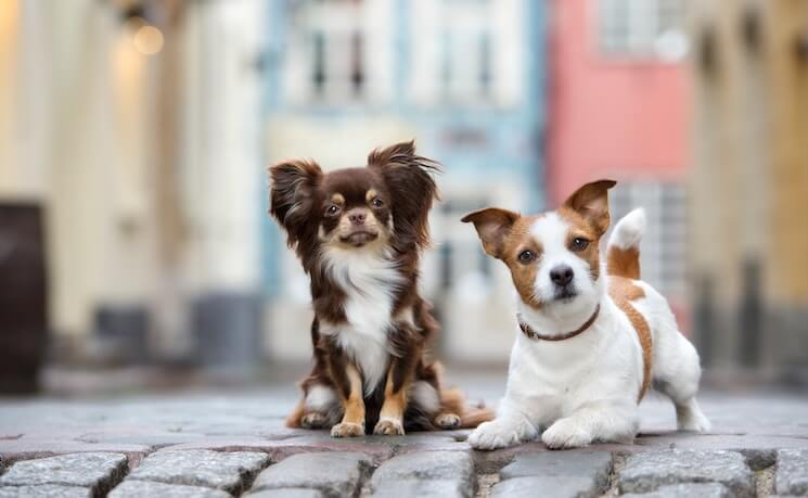 Jack Russell Chihuahua Mix Owners Guide Fun Fast And Feisty
