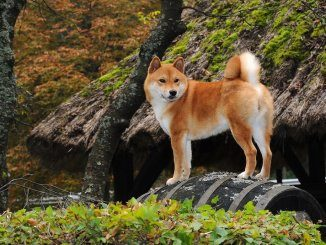 Japanese Dog Breeds Feature