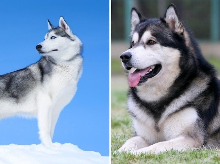 Malamute vs Husky Comparison