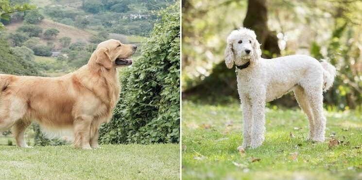 A Miniature Golden Retriever is bred from a Standard Golden Retriever and Poodle