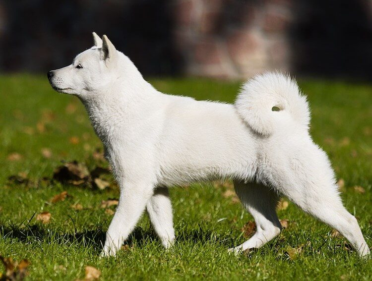 The Hokkaido Dog - A Japanese Dog Breed