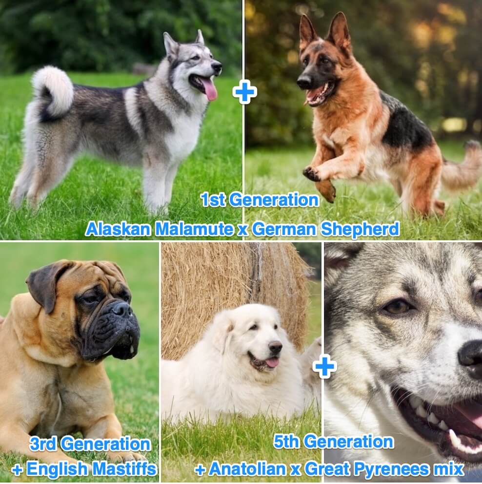 American Alsatian Breeding Line