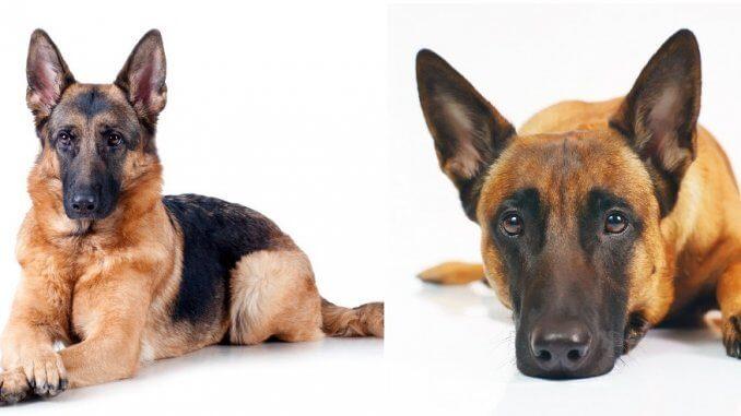 Belgian Malinois vs German Shepherd Feature