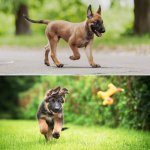 Belgian Malinois vs German Shepherd Difference In Appearance