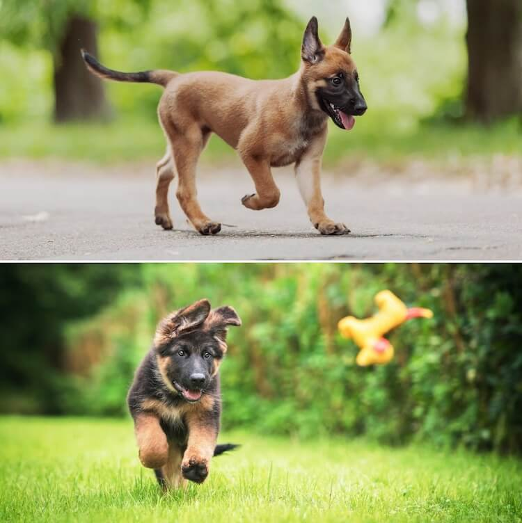 Belgian Malinois Vs German Shepherd Which Is The Best Family Dog