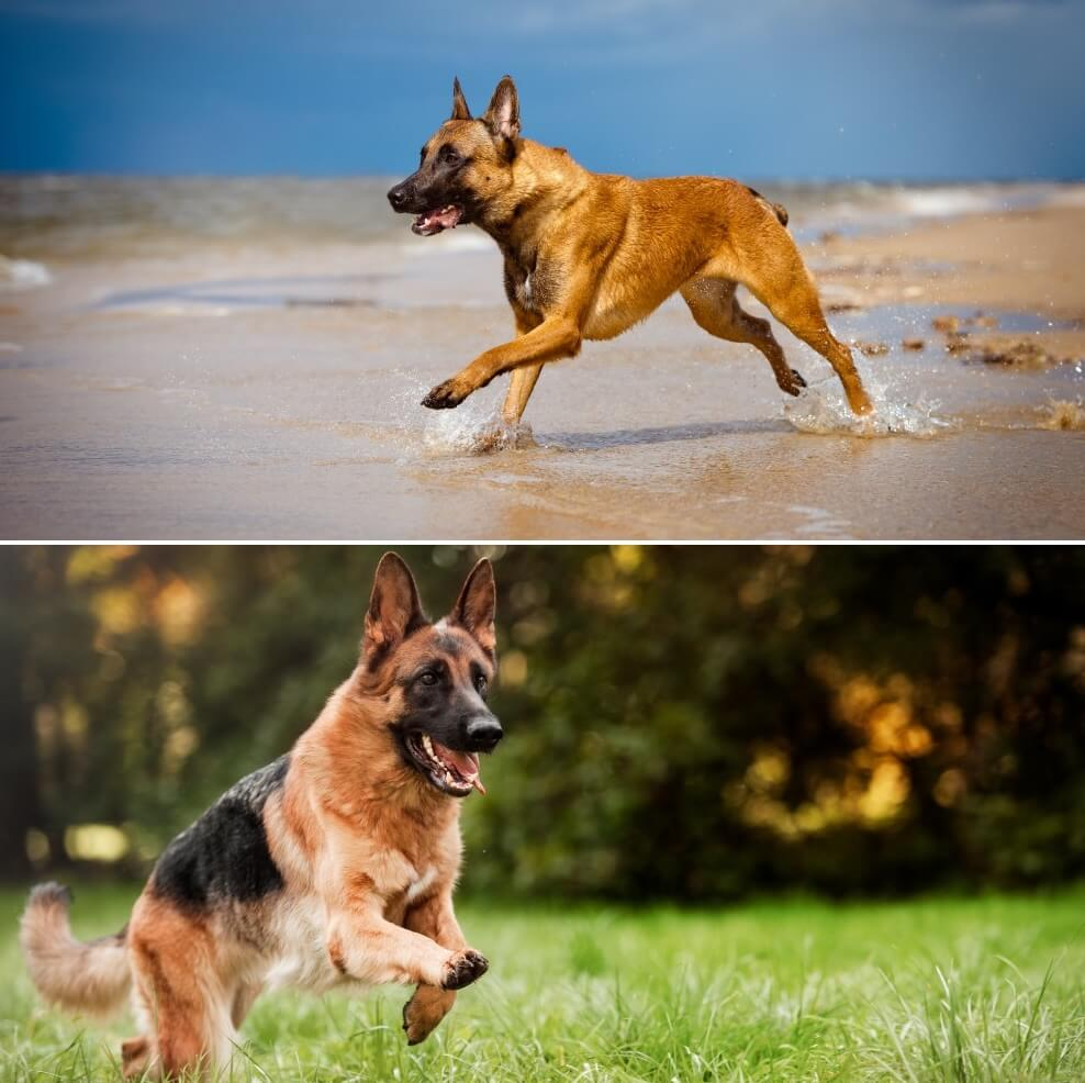 Belgian Malinois vs German Shepherd - Whats The Difference