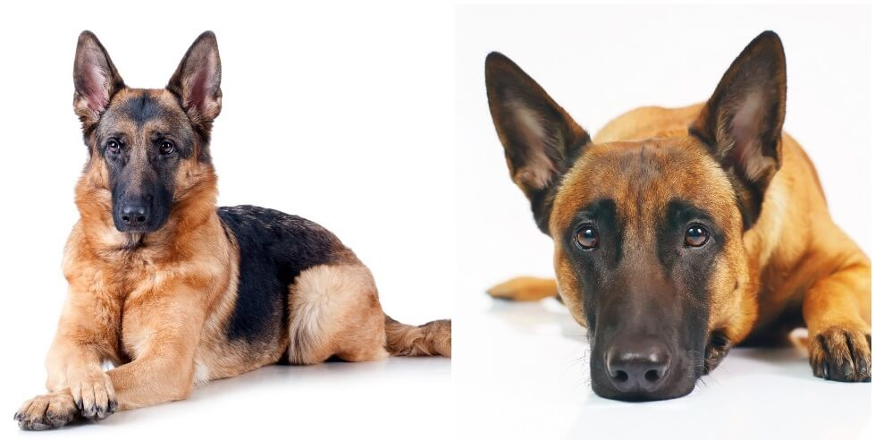Belgian Malinois vs German Shepherd Feature
