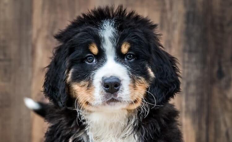 Bernedoodle Family Dog